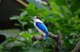 オーストラリアの鳥 その6