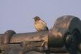 セグロセキレイの幼鳥