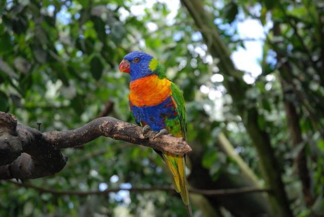 オーストラリアの鳥 その5
