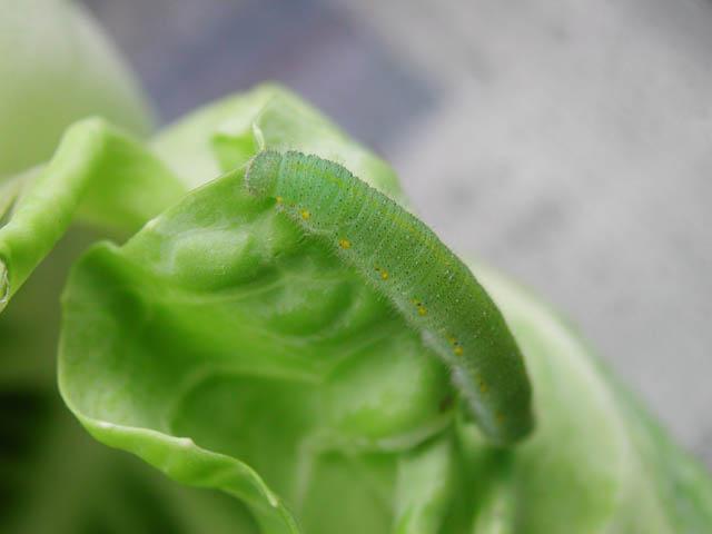 モンシロチョウ 幼虫1