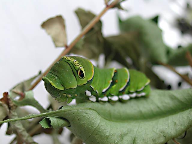 アゲハの幼虫(終齢幼虫3)