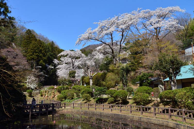吾妻公園の桜